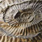 A fossil found on the Jurassic Coast