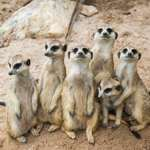 Meerkats at Longleat, just over the Dorset border into Wiltshire